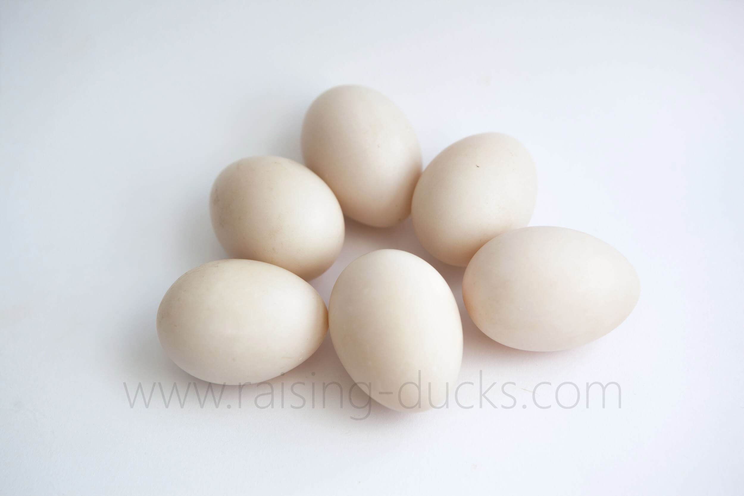 Why aren't my ducks laying eggs? 15 reasons