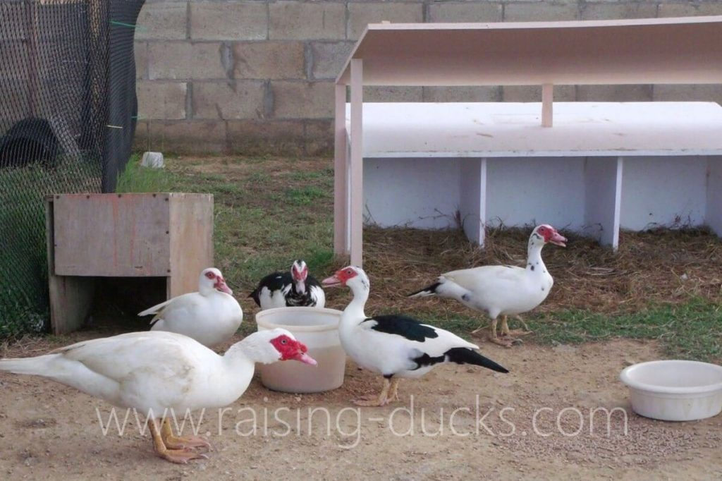 Muscovy ducks and nest boxes