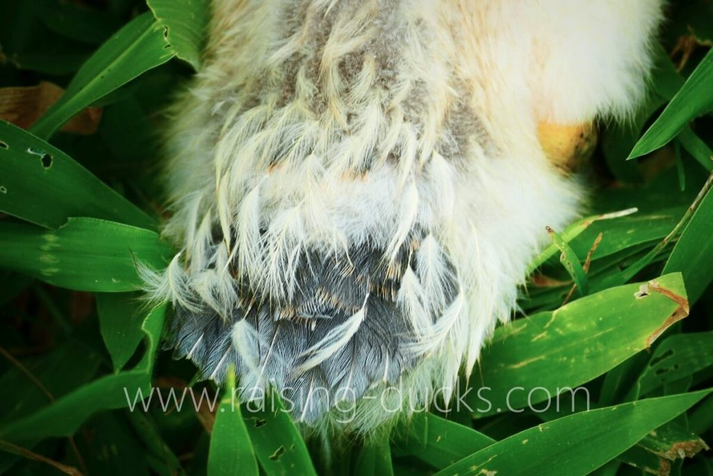 4-week-old female muscovy duckling tail feather growth
