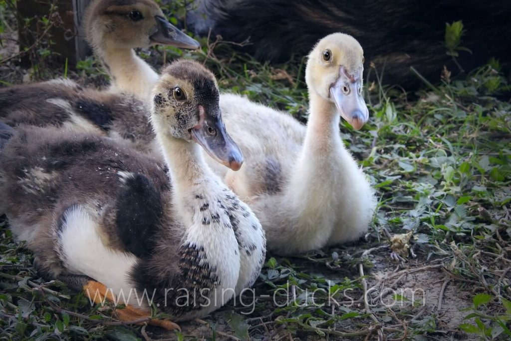 sexing muscovy ducklings how to tell male or female