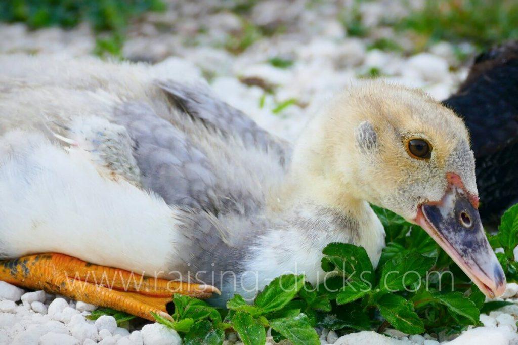 7-week-old silver male muscovy duckling