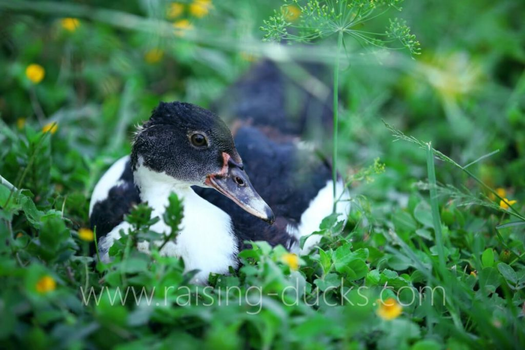 9-week-old female muscovy juvenile duck free range