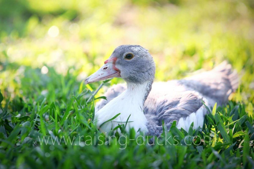 9-week-old male muscovy duck outside grass free range