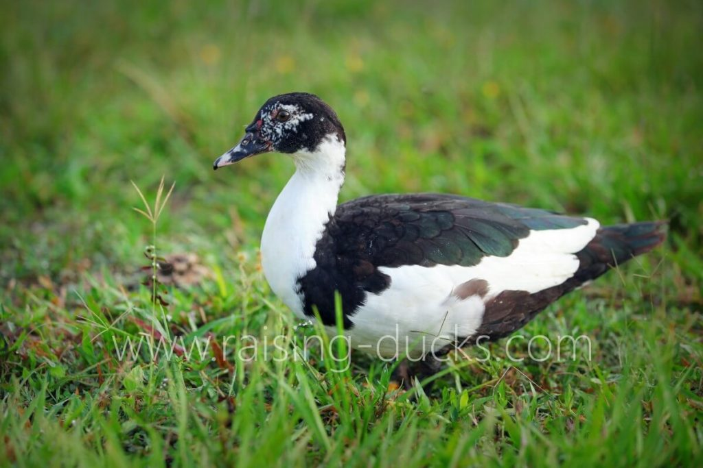 juvenile 5-month-old female muscovy duck free range