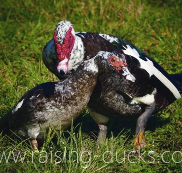 10 Effective Ways To Sex Your Muscovy Duck (With Pictures)