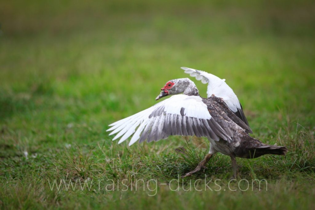 six year old muscovy duck flapping