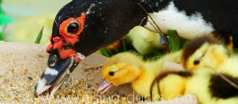 feeding ducks ducklings