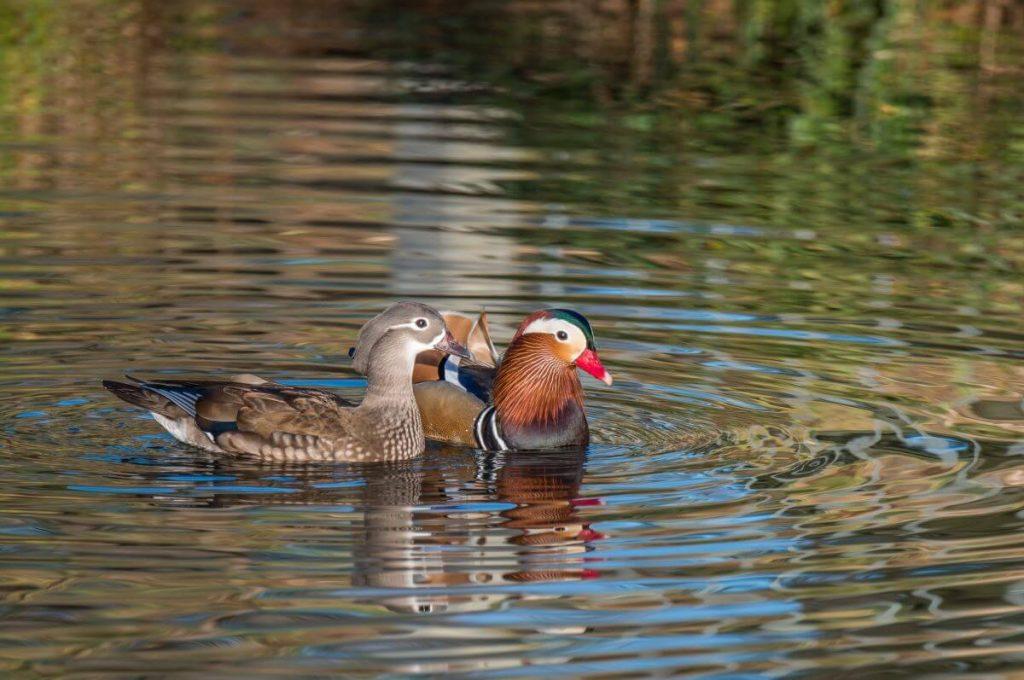 mandarin duck pair swimming