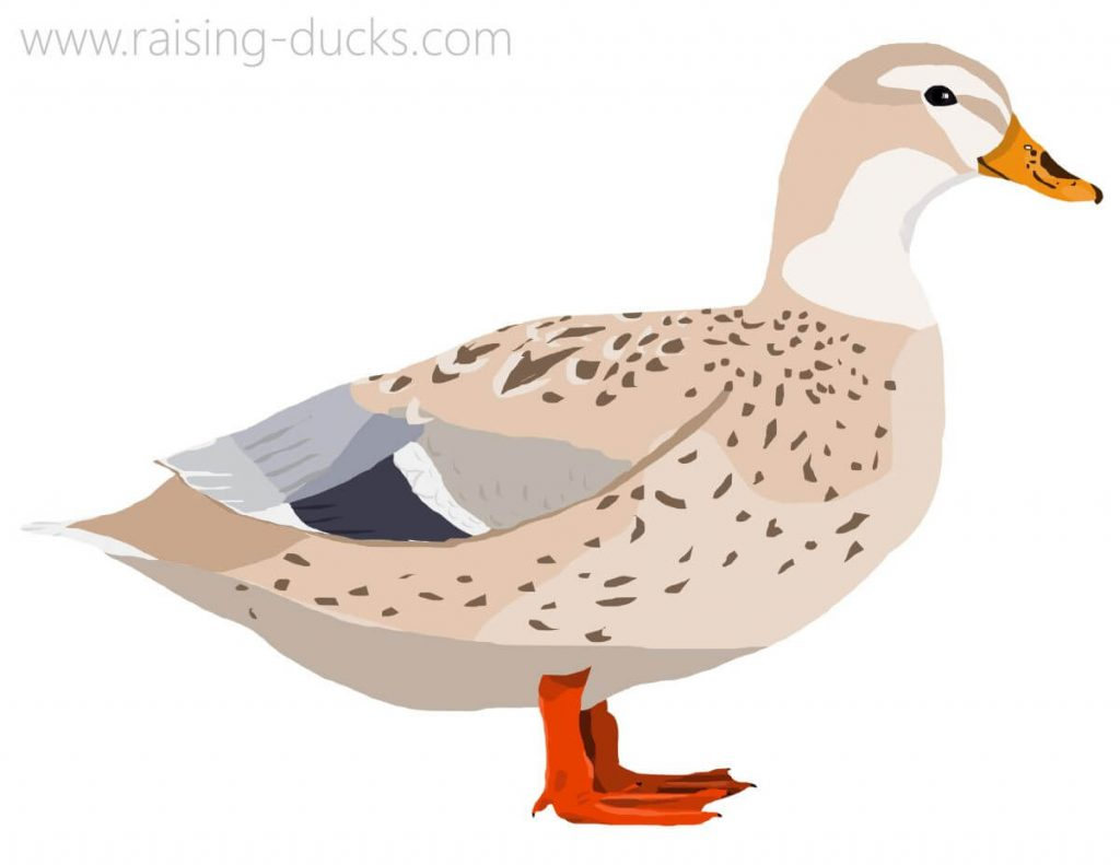 australian spotted duck graphic
