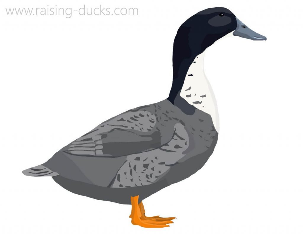 blue swedish duck graphic