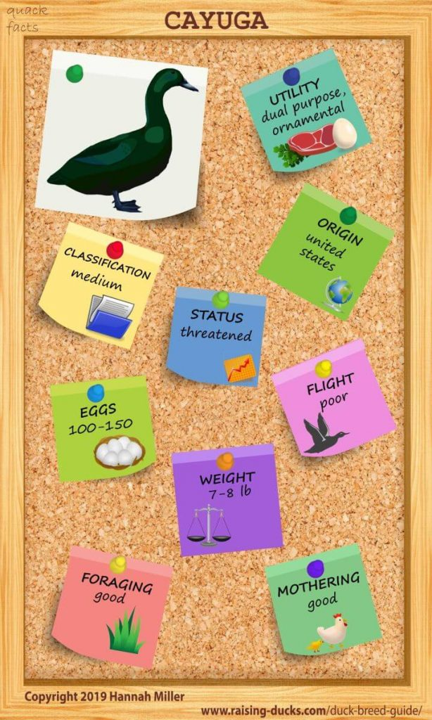 cayuga duck breed infographic