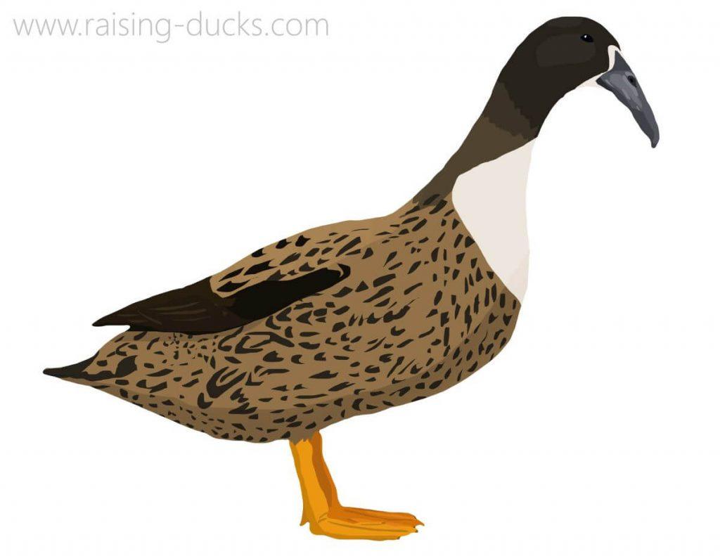 dutch hookbill duck breed graphic