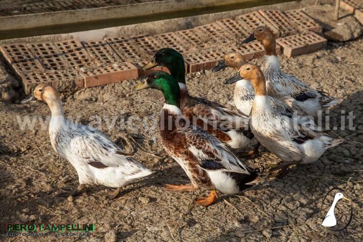 hooded ranger ducks