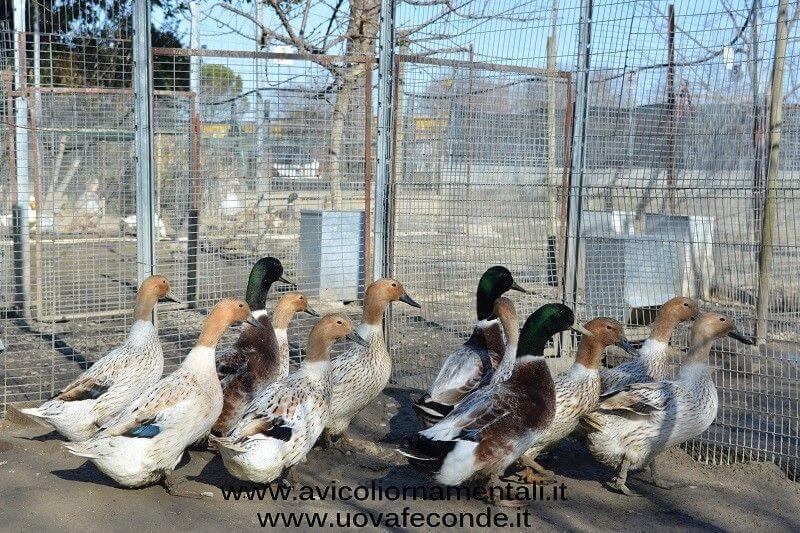 abacot ranger duck flock
