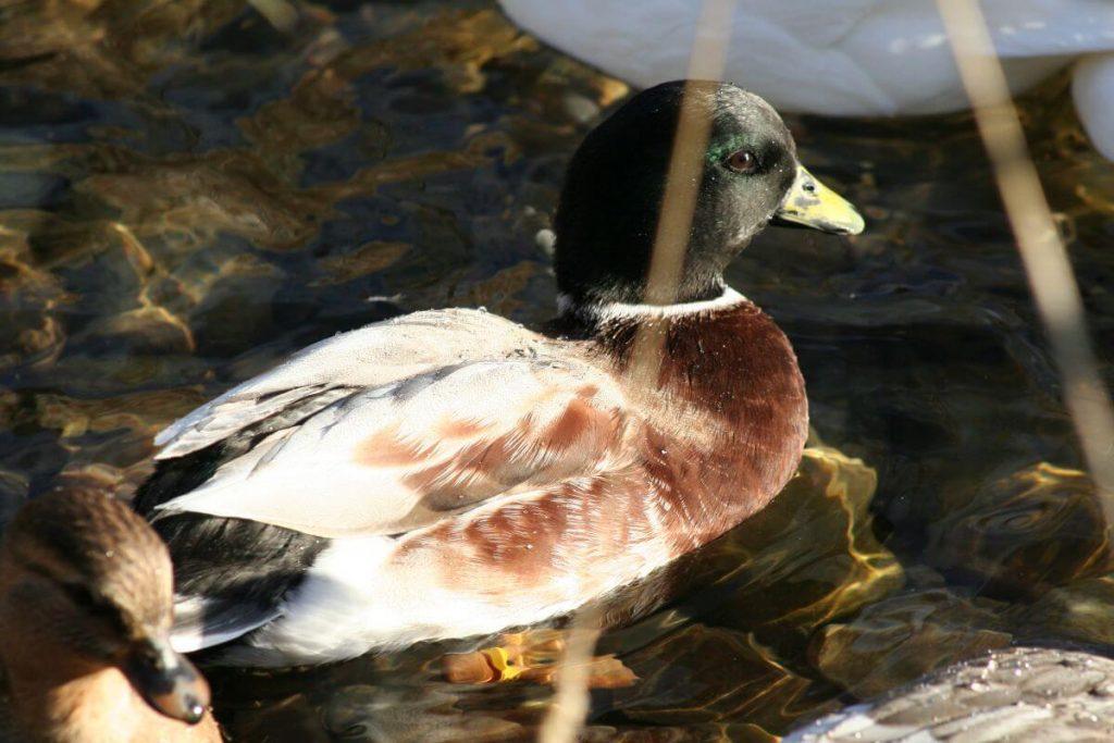 silverhead australian spotted duck