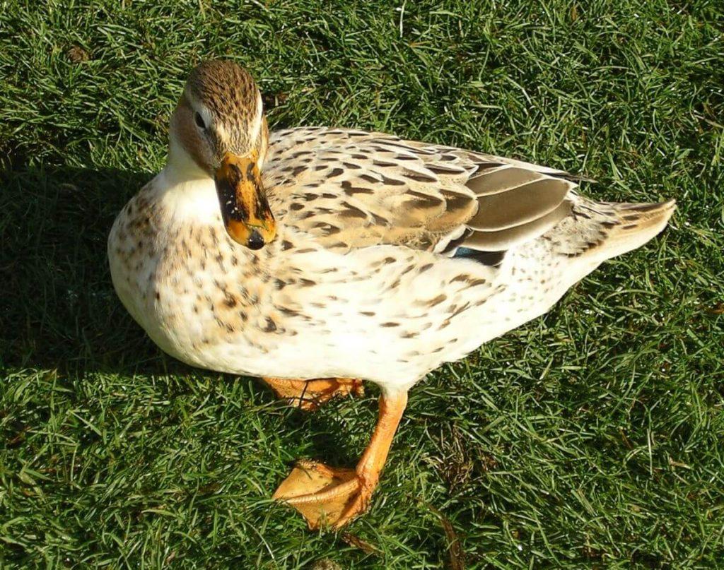 greenhead australian spotted duck