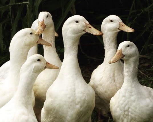 aylesbury duck flock