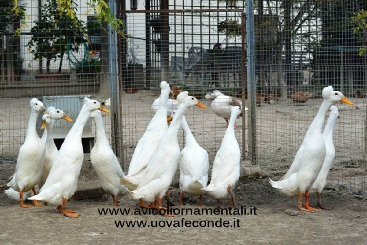 Bali Duck