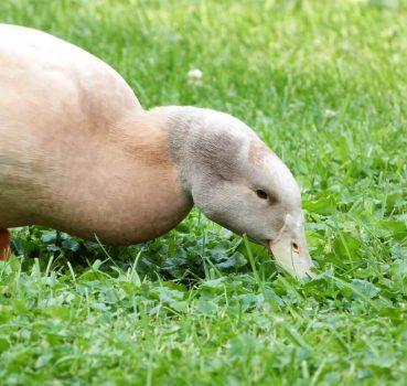 Buff Orpington Duck