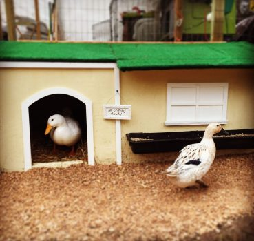 Duck Housing: Everything You Need to Consider