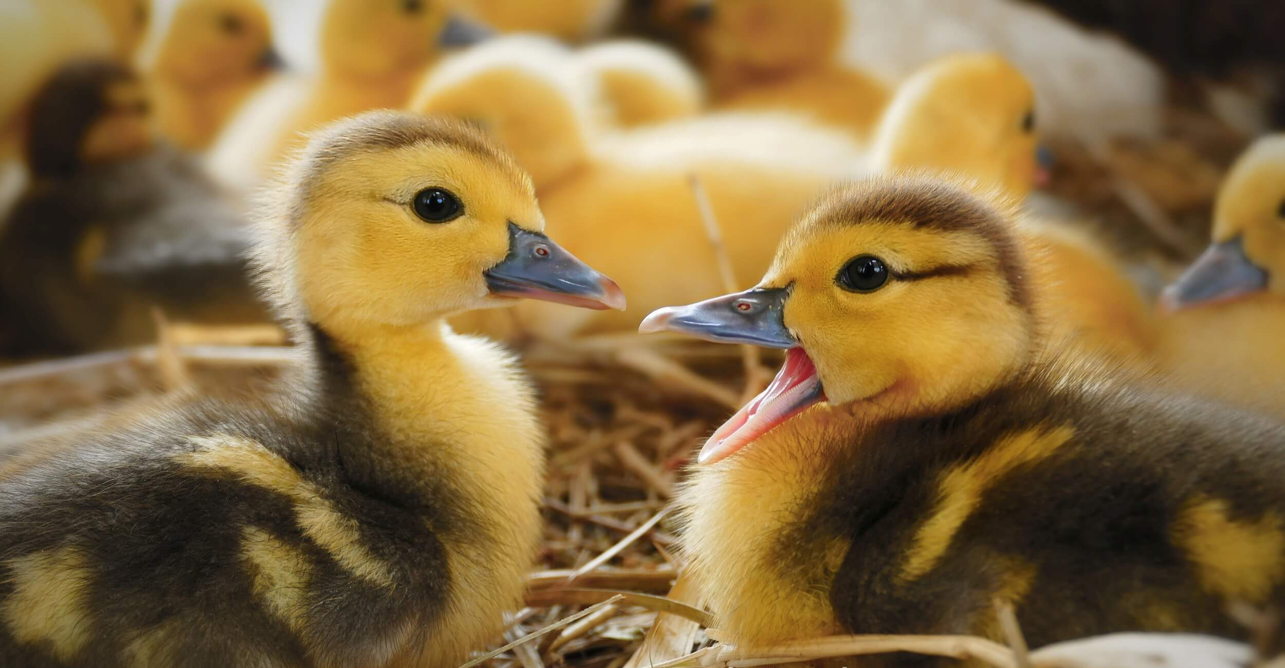 Beginner's Guide to Hatching Duck Eggs and Raising Ducklings