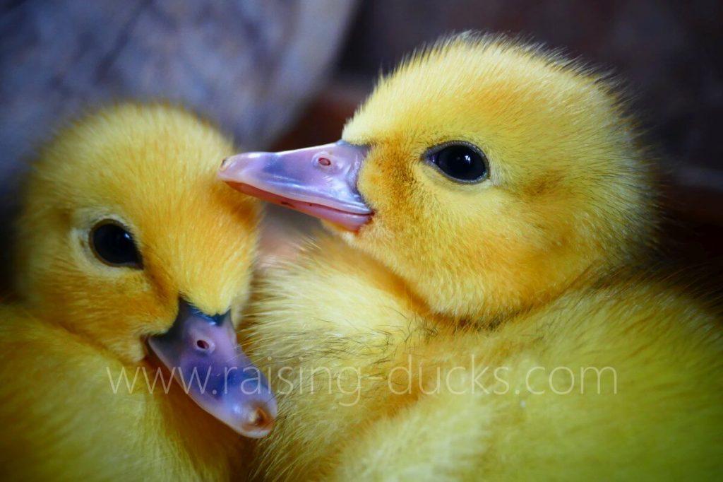 cute muscovy ducklings