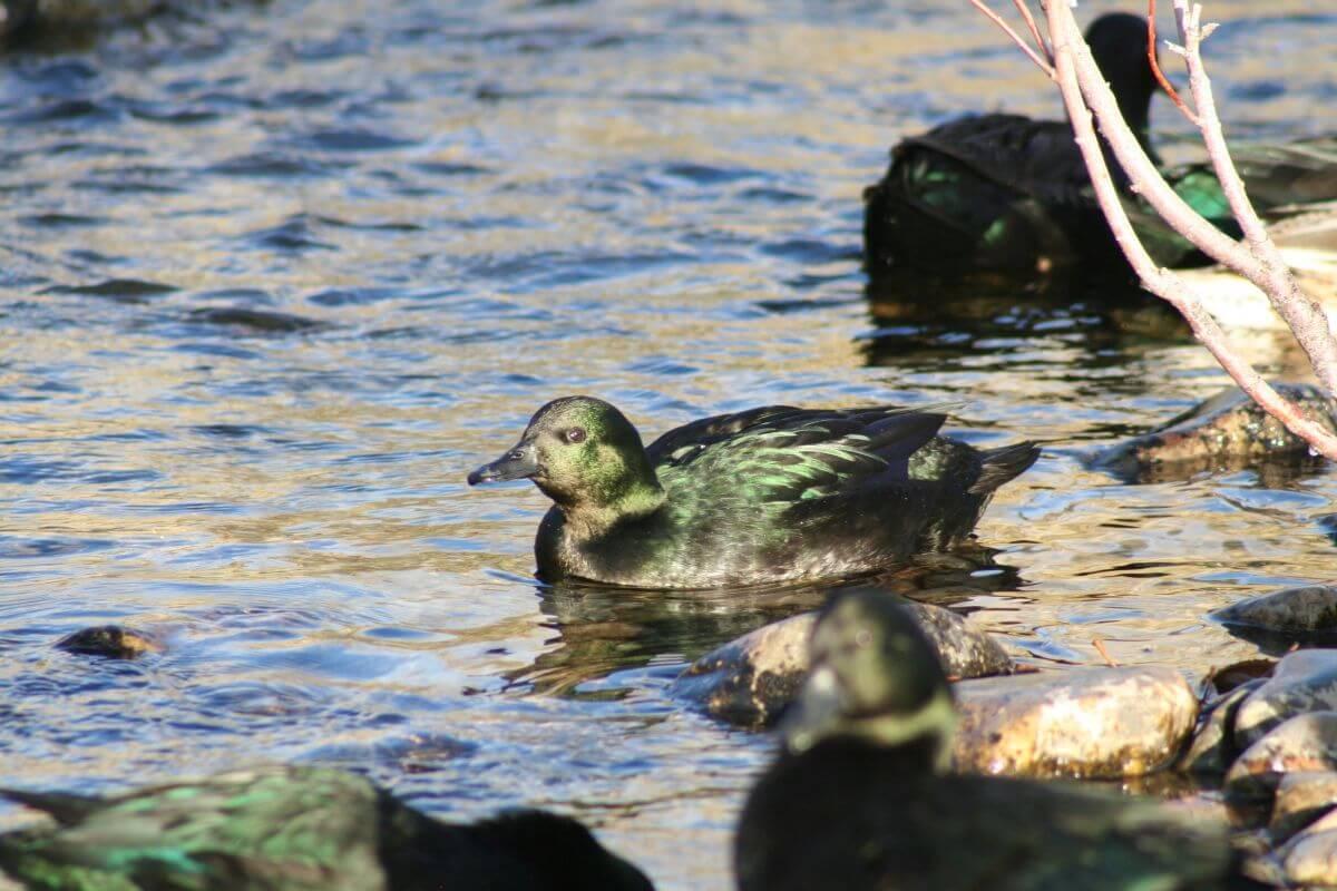 East Indies Duck