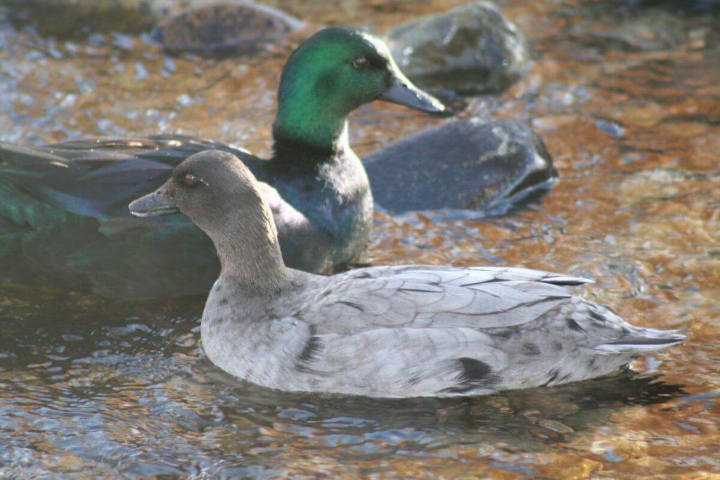 two east indies ducks
