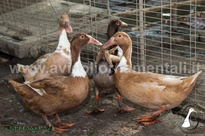 rare dutch hookbill ducks