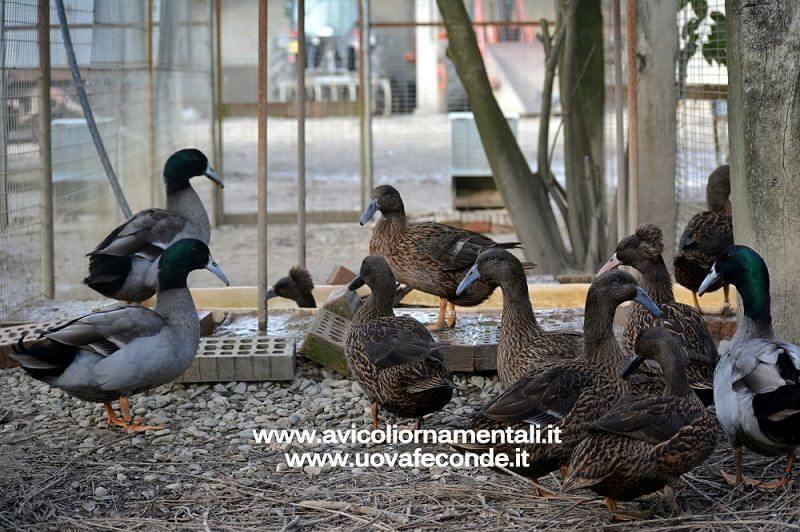 dutch hookbill duck breed