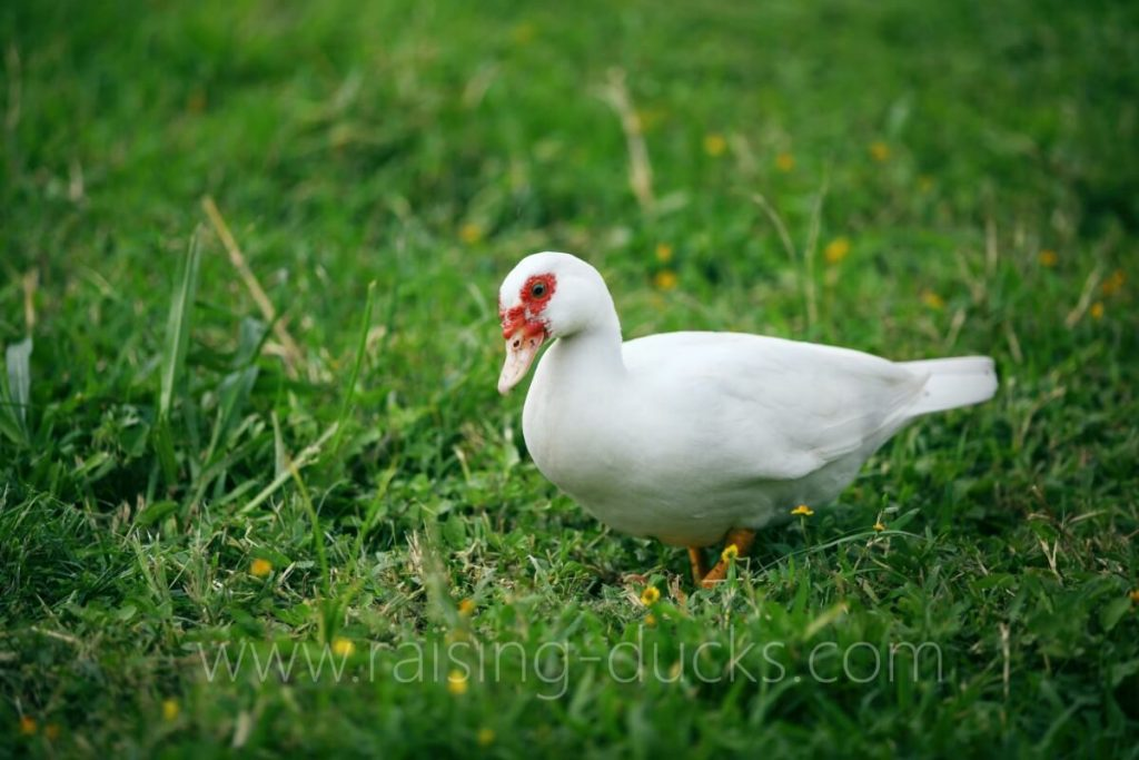 white muscovy duck foraging