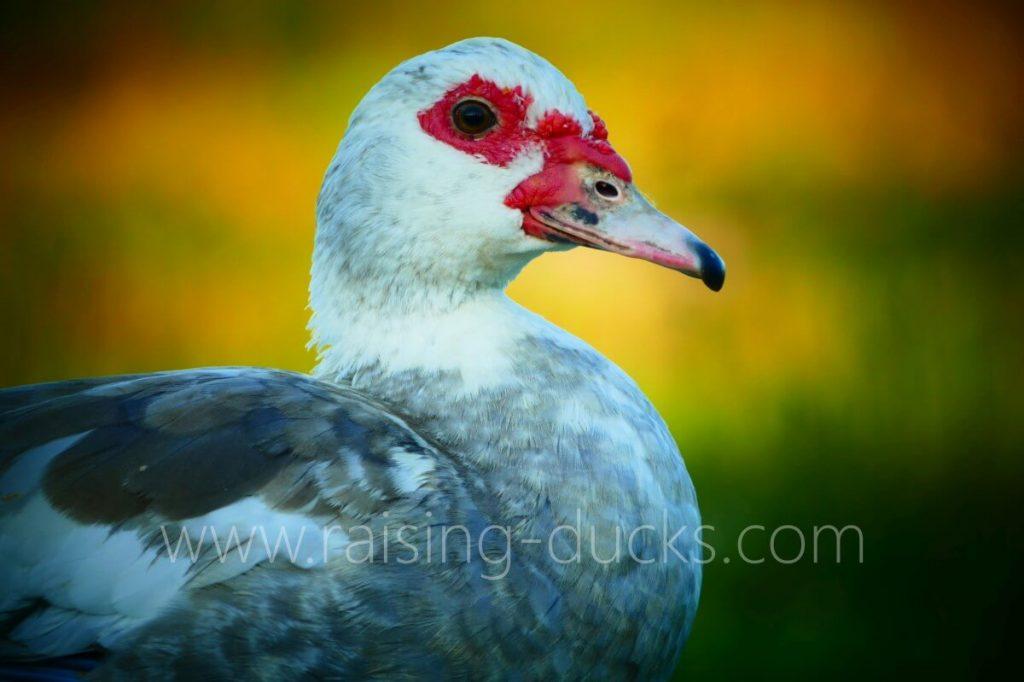 adult female silver muscovy duck head closeup