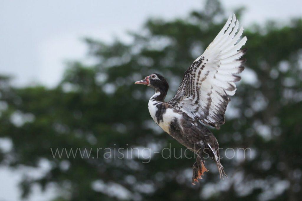 muscovy duck flying