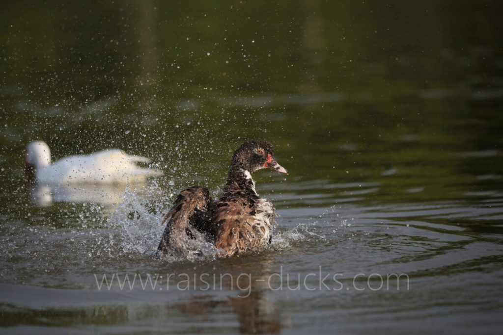 muscovy duck swimming pond