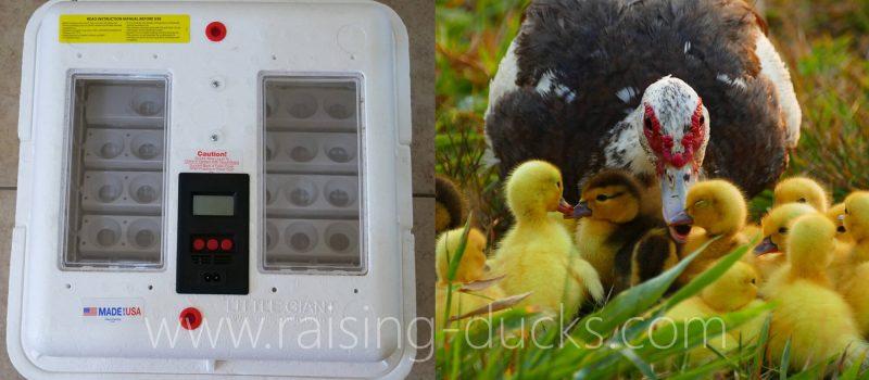 incubator vs broody