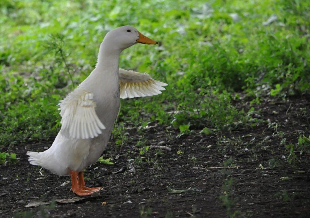 can pekin ducks fly