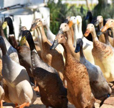 10 Best Duck Breeds for Eggs